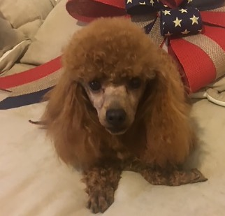 toy poodles sires